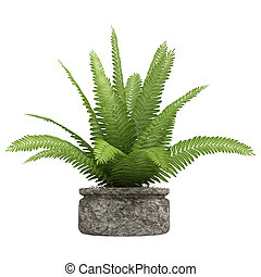 Nephrolepis fern houseplant - Nephrolepis fern potted up in...