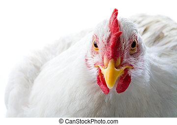 neposkvrněný, kuře