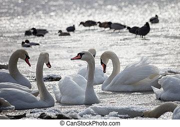 neposkvrněný, labuti