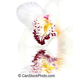 neposkvrněný, orchidea, s, odraz, osamocený, oproti neposkvrněný