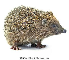 neposkvrněný, osamocený, animální, ježek