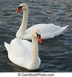 neposkvrněný, swans.