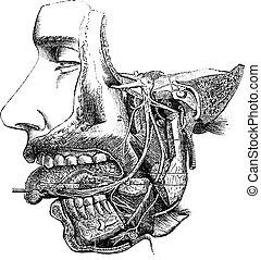 nerf, branches, vendange, maxillaire, sien, inférieur, ...
