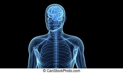 nerf, cellules, cerveau humain