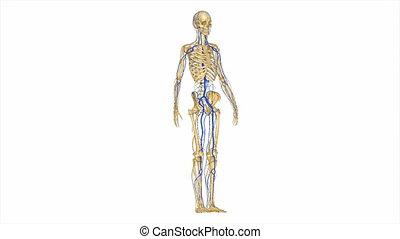 nerfs, artères, squelette