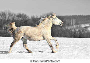 nero bianco, fotografia, con, colorare, cavallo