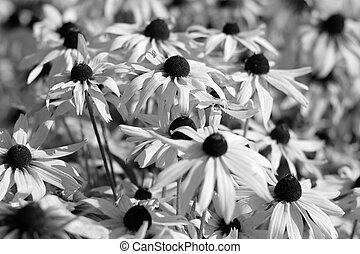 nero bianco, immagine, di, rudbeckia, fiori