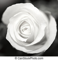 nero bianco, rosa