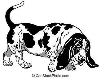 nero, cane caccia bassetta, bianco