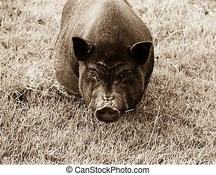 nero, carne di maiale, maiale