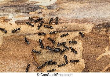 nero, colonia formica, con, regina