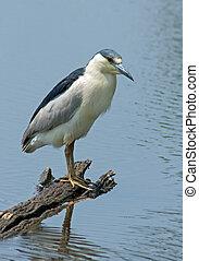 nero crowned heron