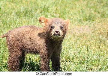 nero, cucciolo, orso