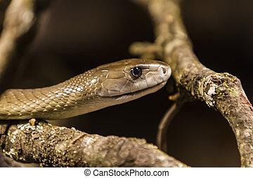 Mamba nero rotolato sopra isolato su serpente nero for Serpente nero italiano
