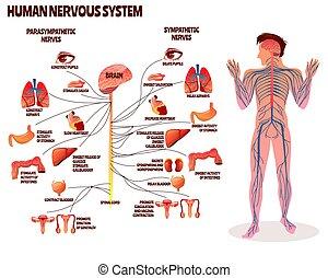 nervös, mänsklig, vektor, system, illustration