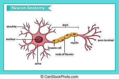 nerv, anatomi, vetenskaplig, läkar illustration, cell