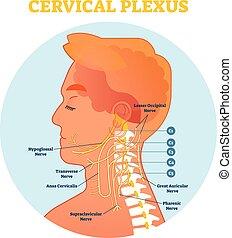 nerv, cervical, hals, diagram, plexus, kors, illustration, anatomisk, vektor, intrig, section.