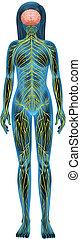 nerv systemet, mänsklig