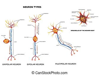 Nerve cell types and organelles of the cell body Close-up...