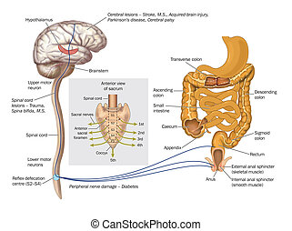 Drawing to show the nerve pathways controlling the rectum and anal sphincters for the control of defecation