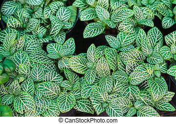 nerve plant or Fittonia verschaffel