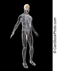 nerve system - 3d rendered illustration of a transparent...