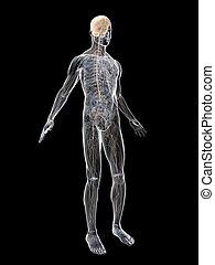 nerve system - 3d rendered illustration of a transparent...