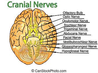 nerver, kranie
