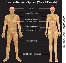 nervesystemet, menneske