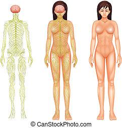 nerveux, femme, système
