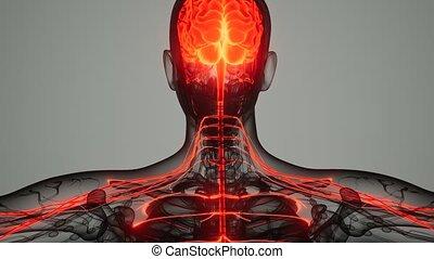 nerveux, humain, système, cerveau