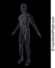 nervi, sistema, umano