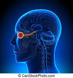 nervio, ojo, -, /, anatomía, cerebro, óptico