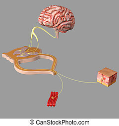 nervioso, functionality, sistema