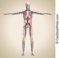 nervioso, humano, (male), sistema, circulación