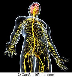 nervioso, macho, sistema, cerebro