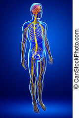 nervioso, macho, sistema, ilustraciones