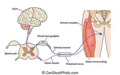 nervo, controllo, muscolo