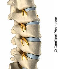 nervo, spina dorsale, -, spinale, vista laterale