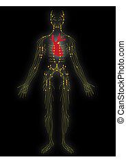 nervosa, vetorial, sistema, pessoa