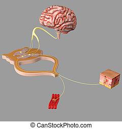 nervoso, functionality, sistema