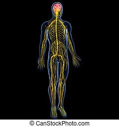 nervoso, maschio, sistema, cervello
