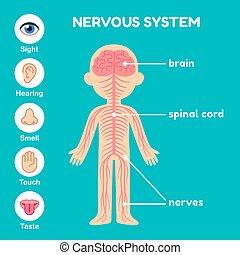 Nervous system anatomy for children