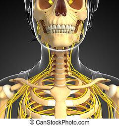 Nervous system and female neck skeleton artwork