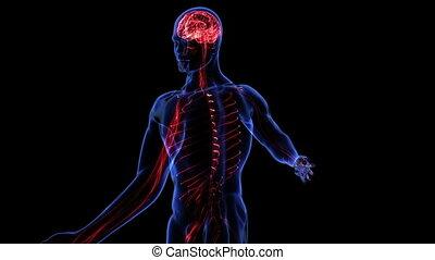 Human nervous system. Loop