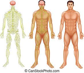 Nervous system of a man - Illustration of the nervous system...