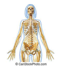 Nervous system of female body - 3d rendered illustration of...