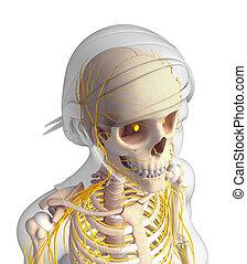 Nervous system of female head skeleton artwork