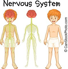 Nervous system of human boy