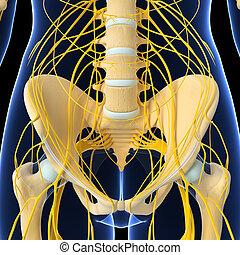 Nervous system of human pelvis - 3d rendered illustration of...